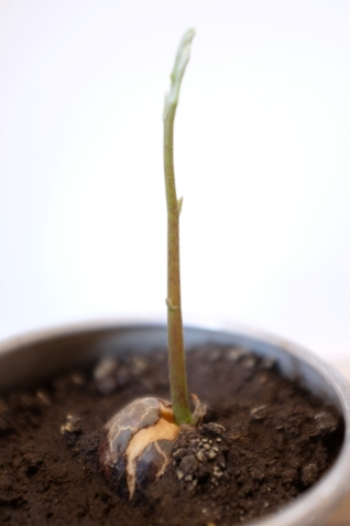 Avocado Seed Stem Growing in Earth