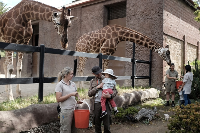 Giraffe feeding at the Adelaide Zoo, South Australia