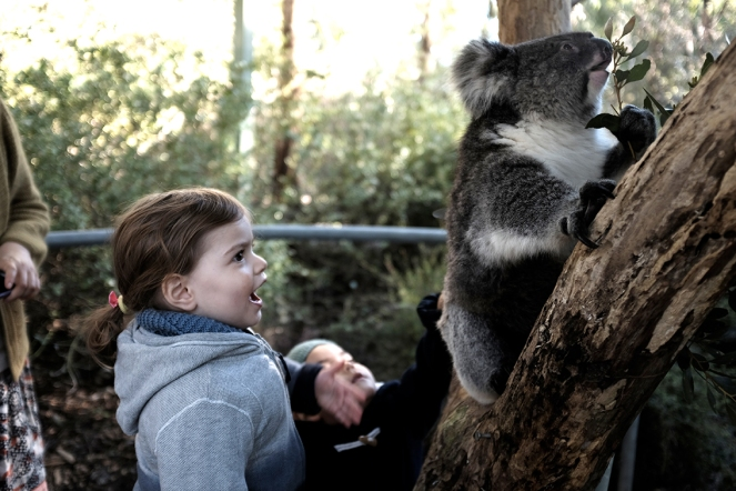 child Watching a Koala eat eucalyptus leaves at the Cleland Wildlife Park in South Australia surprised