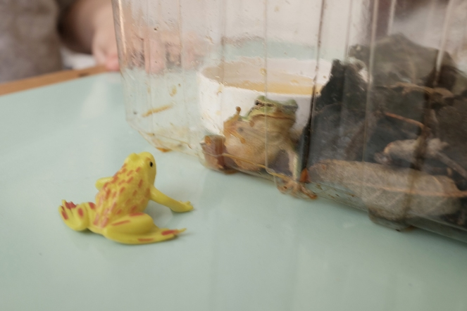 rescued frog looking at toy frog