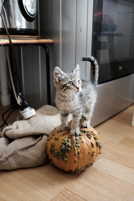 Rescued kitten on pumpkin