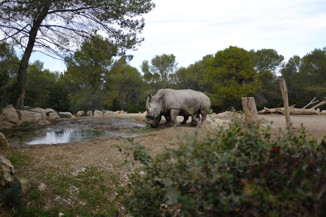 rhinoceros Montpellier Zoo